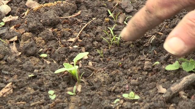 Le mulch en maraichage: avantages, utilisation, précautions….