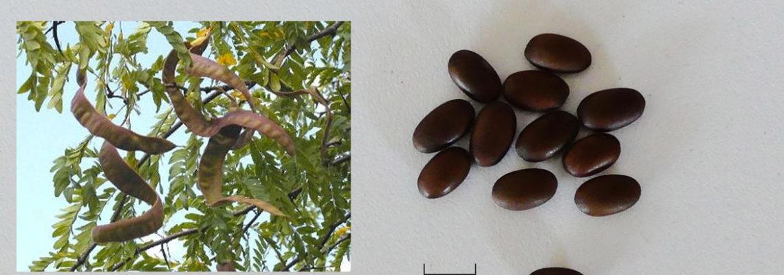 Graines d'arbres fertilitaires
